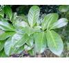 Laurocerasus officinalis / Лавровишна