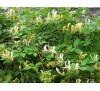 Lonicera japonica / Лоницера, Орлови нокти
