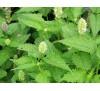 Lophanthus Anisatus Benth / Лофант
