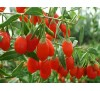 Goji berry, Lycium barbarum / Годжи Бери, Лициум