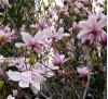 Magnolia kobus / Японска магнолия