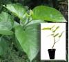 Morus nigra L. / Черница черна