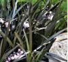 Ophiopogon planiscapus Niger / Офиопогон, черна трева