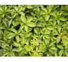 Parthenocissus quinquefolia /  Дива лоза