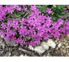Phlox subulata Emerald Pink / Флокс розов