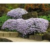 Phlox subulata Emerald Cushion blue / Флокс син