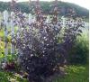 Physocarpus opulifolius diablo / Физокарпус червенолистен