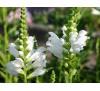 Physostegia virginiana Alba / Физостегия бяла