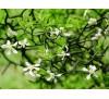 Poncirus trifoliata / Див лимон