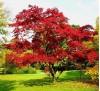Quercus rubra / Червен американски дъб