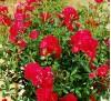 Mini rose Red Fairy / Мини роза - червена