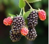 Rubus / Къпина