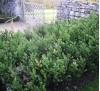 Ruscus aculeatus / Бодлив залист