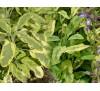 Salvia officinalis Aurea / Салвия пъстролистна