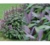 Salvia Officinalis Purpurascens / Салвия, Лилав градински чай