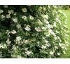 Sambucus nigra / Черен бъз, Свирчовина