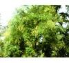 Sophora japonica / Софора