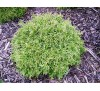 Thuja occidentalis Mr Bowling Ball / Западна туя Мистър Боулинг Бол