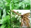 Valeriana officinalis /  Валериана, Лечебна дилянка