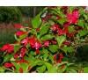 Weigela Florida Red Prince / Вайгела - червена