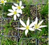 Zephyranthes Candida / Зефирантес, Дъждовна лилия