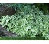 Aegopodium Podagraria Variegatum / Егоподиум пъстролистен