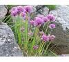 Allium schoenoprasum / сибирски лук