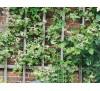 Ampelopsis glandulosa 'Elegans' / Китайска лоза