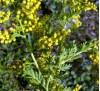 Artemisia annua / Сладък пелин