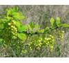 Berberis vulgaris / Обикновен Кисел трън