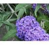 Buddleia davidii / Будлея лилава, Летен люляк