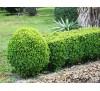 Buxus sempervirens / Чимшир (чемшир)