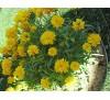 Coreopsis / Кореопсис, Жълтички
