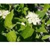 Cornus stolonifera Flaviramea / Дрян бял Жълтостъблен