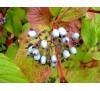 Cornus alba Sibirica / Сибирски дрян