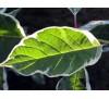 Cornus alba sibirica variegata / Сибирски дрян - пъстролистен