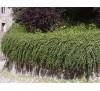 Cotoneaster dammeri / Котонеастър Дамери