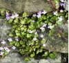 Cymbalaria muralis / Стенна цимбалария