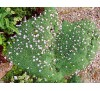 Dianthus anatolicus / Турски карамфил