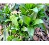 Dianthus barbatus / Самакитка