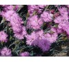 Dianthus plumarius / Карамфил