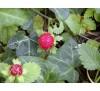 Duchesnea indica / Декоративна ягода