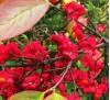 Euonymus europaeus Red Cascade / Европейски чашкодрян Червена каскада