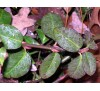 Euonymus fortunei Coloratus / Евонимус фортунеи