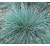 Festuca glauca / Фестука, синя трева