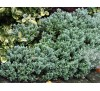 Hebe pinguifolia, Hebe topiaria / Хебе дебелолистно