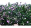 Hibiscus / Хибискус градински - син, дървовидна ружа