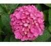 Hydrangea / Хортензия - розова