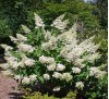 Hydrangea paniculata Grandiflora / Метличеста хортензия
