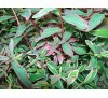 Hypericum moserianum tricolor / Трицветен хиперикум